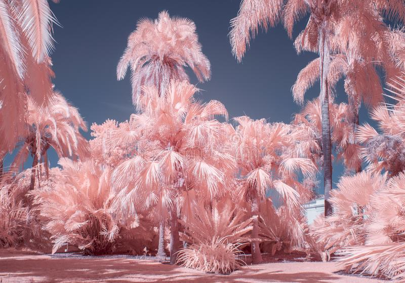 Palm Trees in Pastel Infrared Color. Collection of palm trees in pastel infrared color royalty free stock image