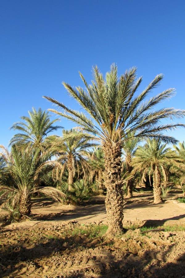 Palm trees plantation, date palms royalty free stock photos