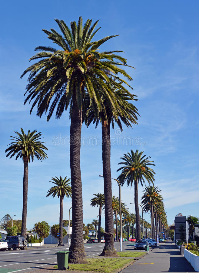 Palm Trees provide an iconic welcome to Napier, New Zealand royalty free stock photography