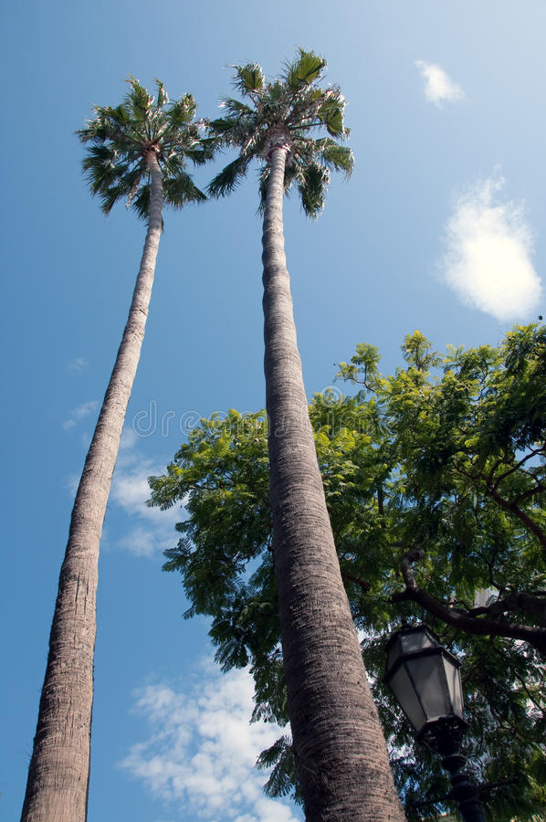 Palm trees reaching for the sky royalty free stock images