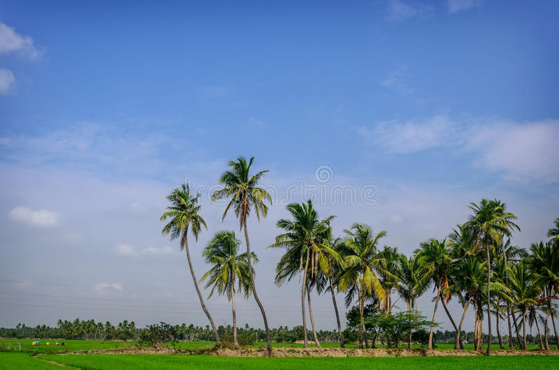 Palm trees on rice field royalty free stock photos
