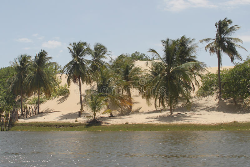 Palm trees by the river. A group of palm trees along the banks of the Preguiça river, with the dune in the background Lençóis Maranhenses National Park royalty free stock image