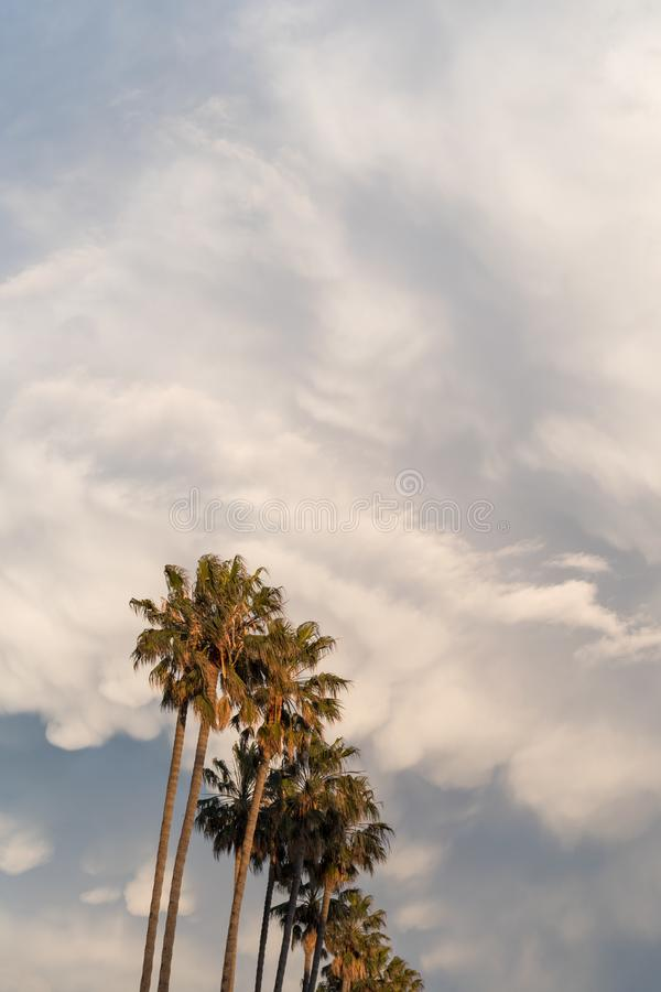 Palm trees. In a row against evening cloudy sky royalty free stock images
