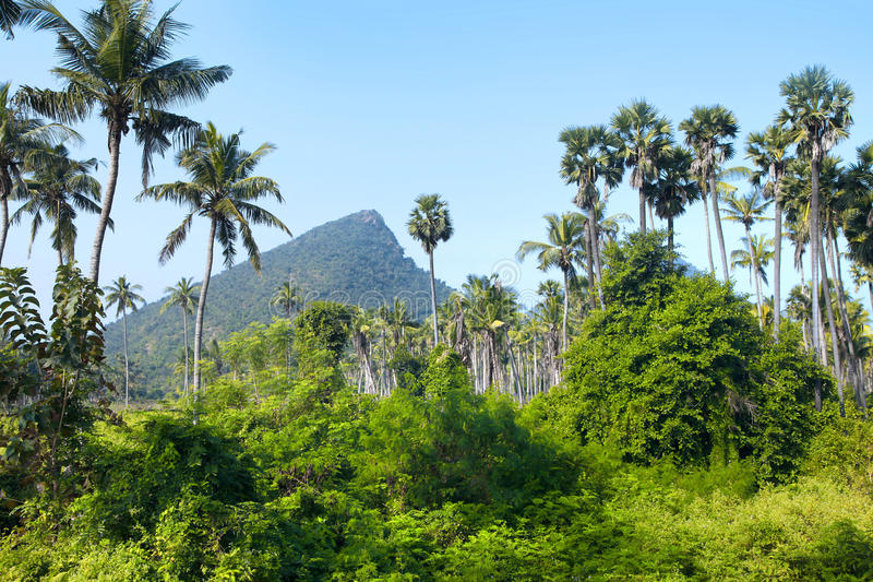 Palm trees in rural Andhra pradesh state. In India stock photos