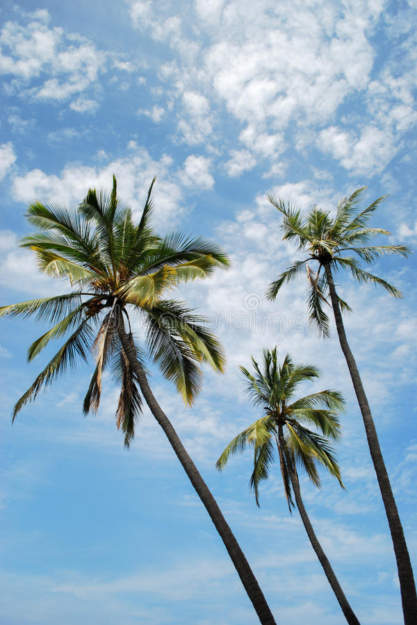 Palm Trees with a Sky Backdrop royalty free stock photo