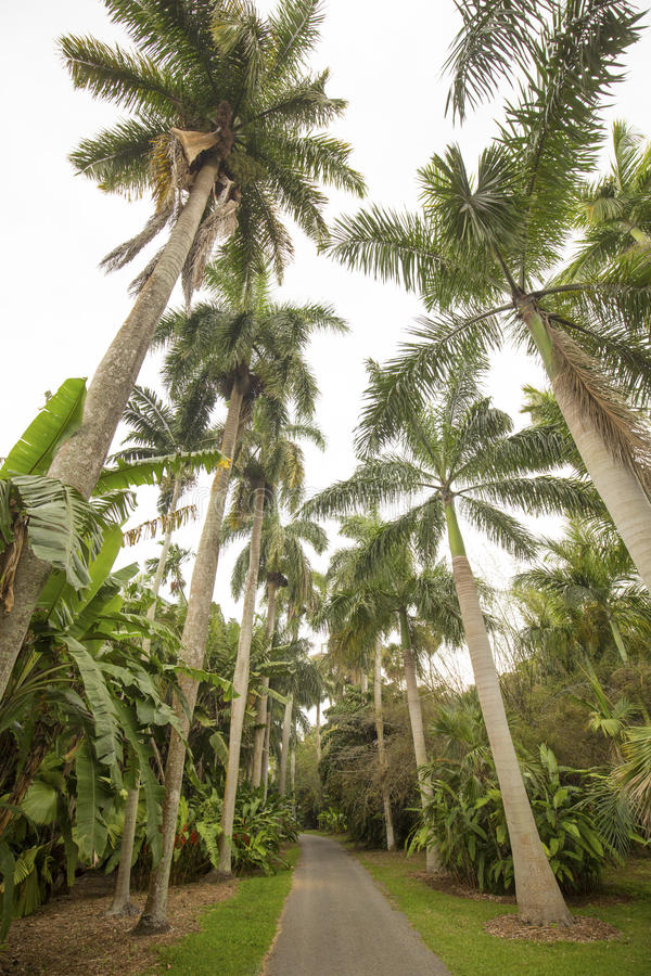 Palm trees in springtime in south Florida. Towering royal palm trees, Roystonea regia, with other tropical trees and shrubs lining a pathway in south Florida stock photos