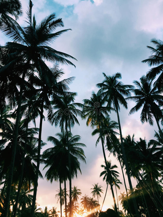 Palm trees at sunset. Beautiful Palm trees at sunset stock photography