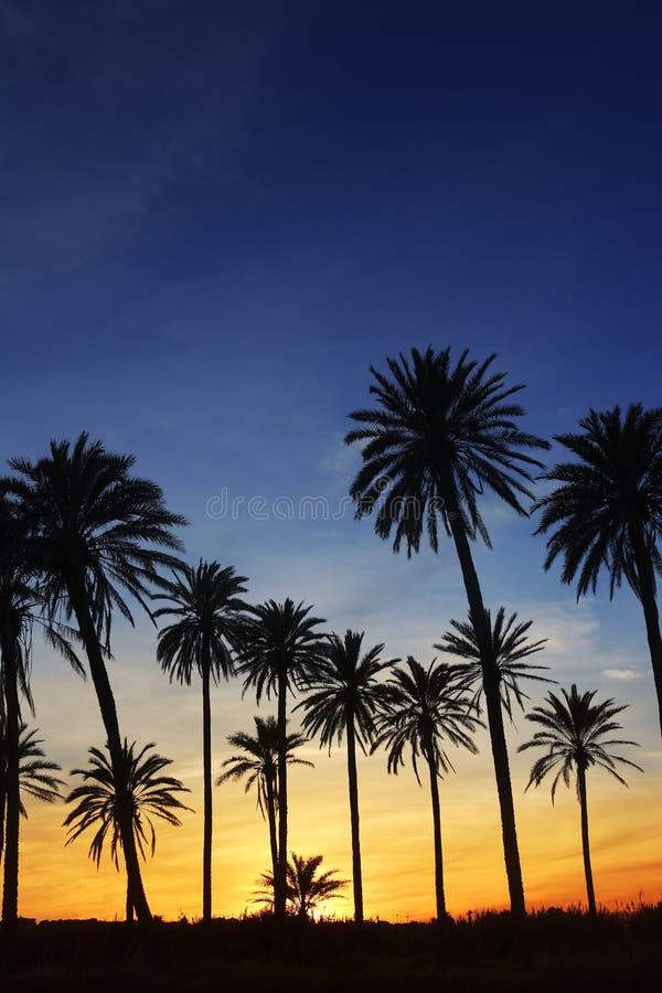 Download Palm Trees Sunset Golden Blue Sky Backlight Stock Photo - Image: 14885864