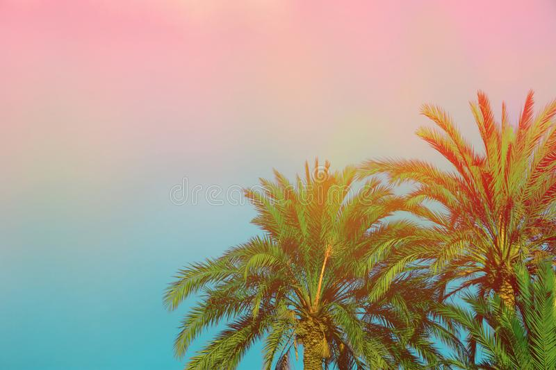 Palm Trees on Toned Purple Blue Pink Sky Background with Golden Sun Flare. Copy Space for Text. Tropical Foliage. Seaside Vacation royalty free stock image