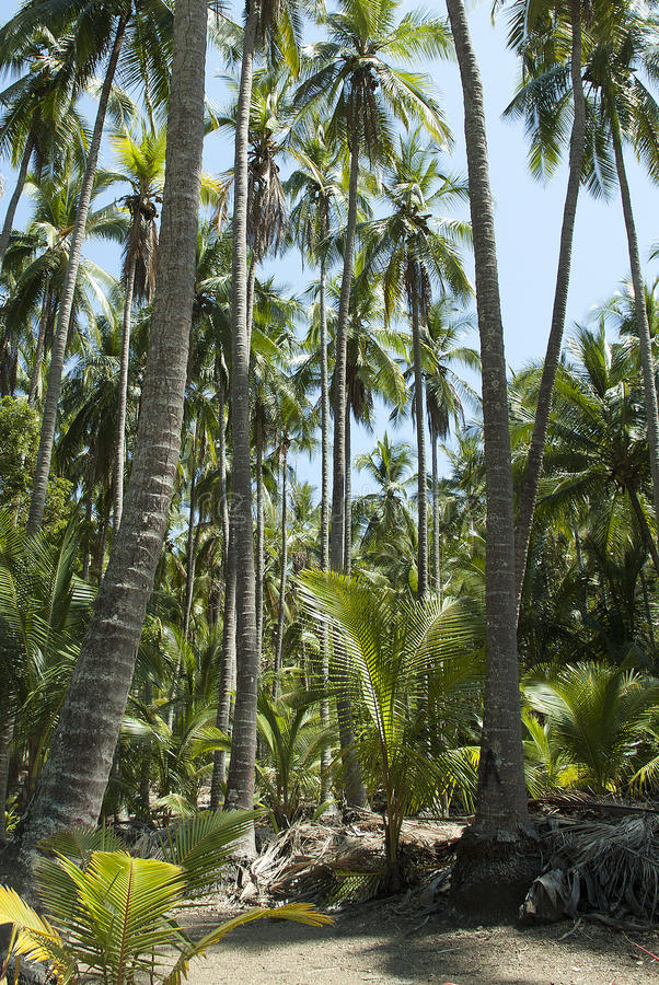 Palm Trees in Costa Rica royalty free stock photography