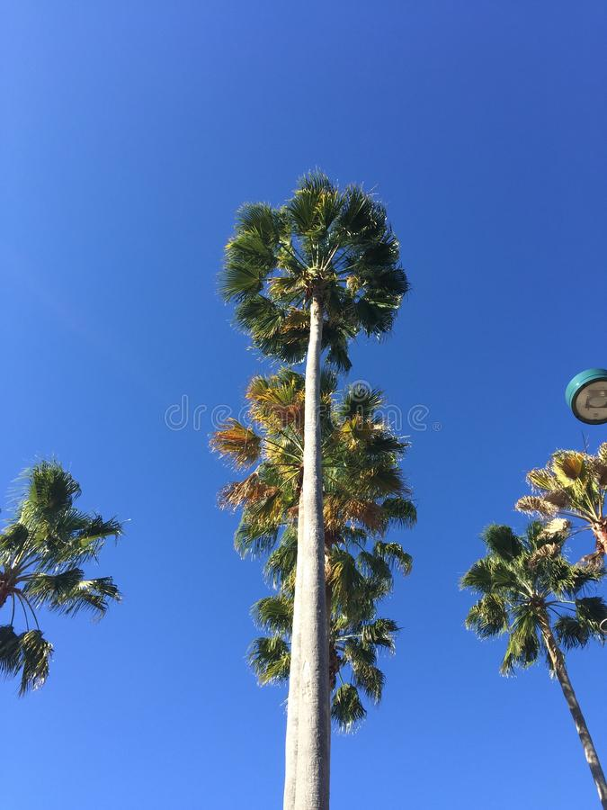Download Palm Trees editorial stock image. Image of blue, tree - 72572604