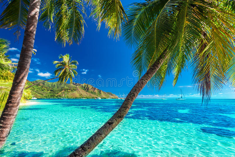 Palm trees on a tropical beach with a blue sea on Moorea, Tahiti royalty free stock image