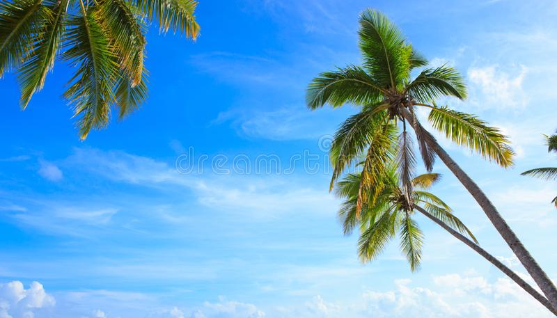 Coconut palm trees on blue sky with white clouds. stock images