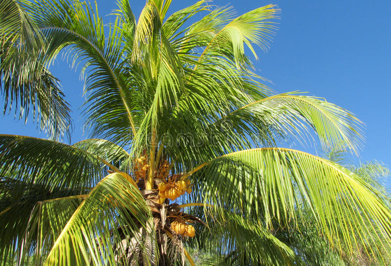Palm trees tropical coco nuts. In tropic greenery, Brazil, tropical trees, blue sky without clouds, beautiful scenery sunny day. Tropical landscape, tropics hot stock image