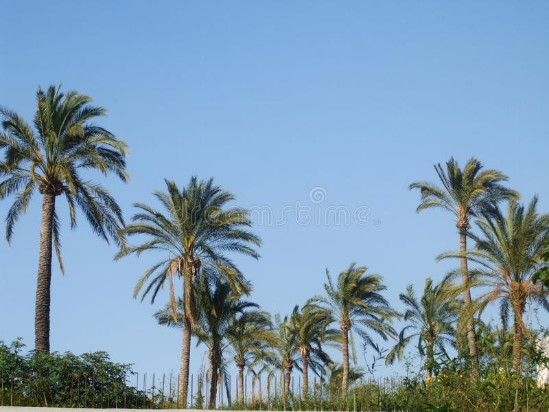Palm trees under a blue sky stock photos