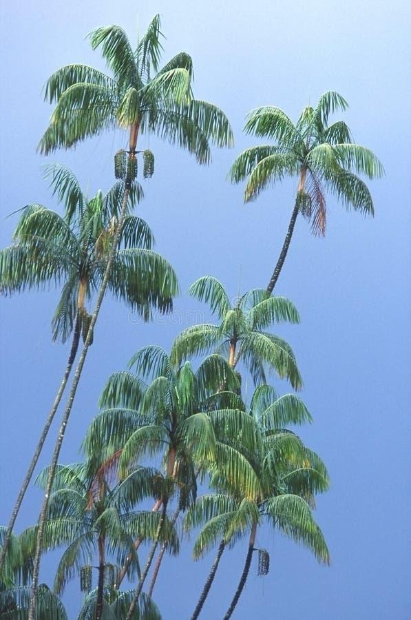 Palm trees under a tropical rain, Singapore