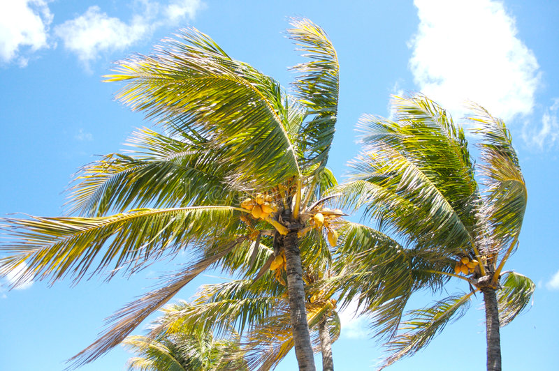 Palm trees in the wind royalty free stock image