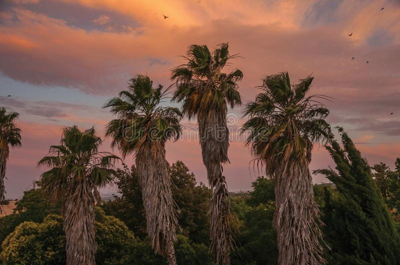Palm treetops and multicolored sky in a farm. Countryside landscape with leafy palm treetops at sunset dusk and gorgeous multicolored sky in a farmstead near stock photos