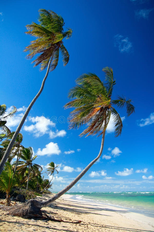 Palm twee op Caraïbisch strand stock afbeelding