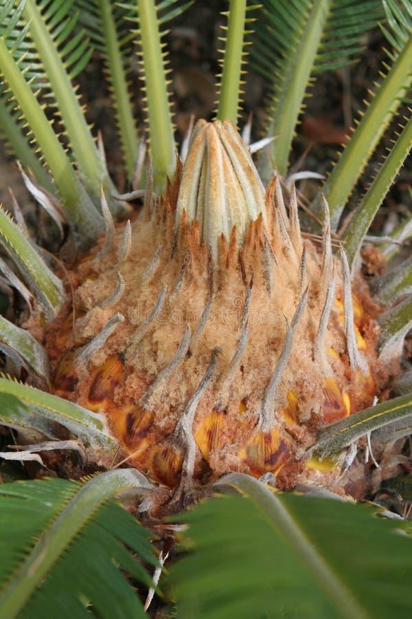 Palm van de sago 2 royalty-vrije stock foto's