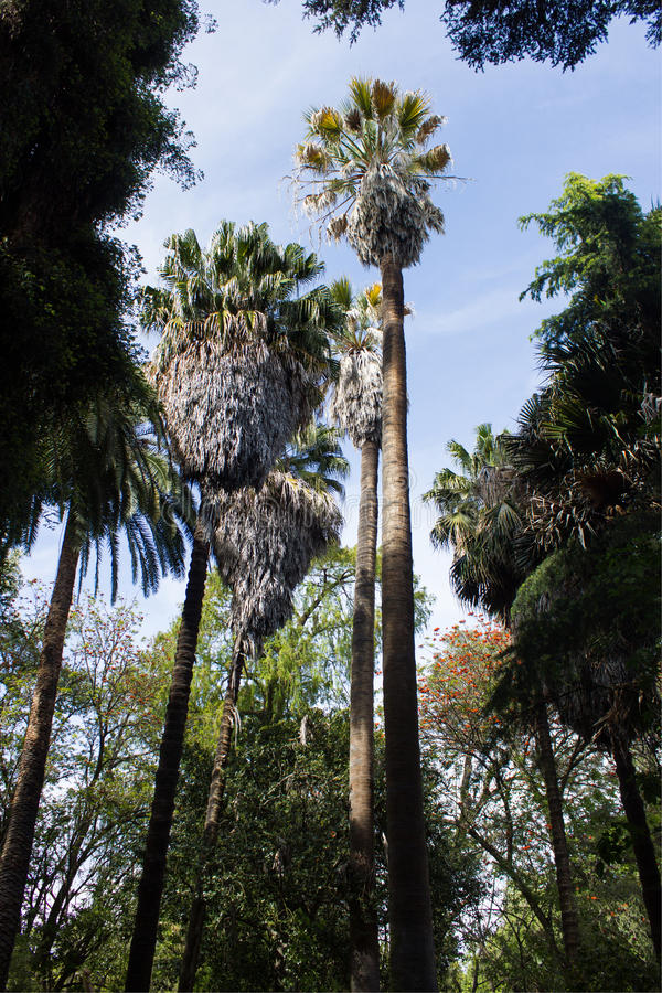 Palm Van De Washingtonia Robusta, Mexicaanse Ventilator Of Mexicaanse Washingtonia, Botanische Palm, Stock Foto