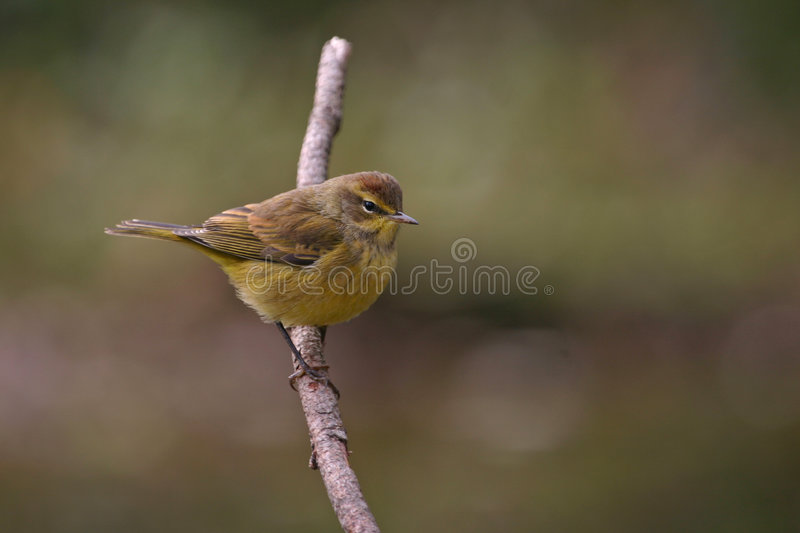 Palm warbler royalty free stock photo