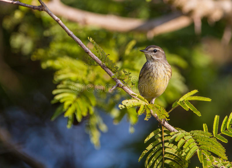 Palm Warbler on an acacia branch. A Palm Warbler (Setophaga palmarum) perches on an acacia branch at the Island of Cuba royalty free stock photography