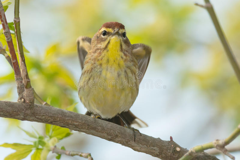 Palm Warbler. Perched on a branch getting ready to take off stock photography