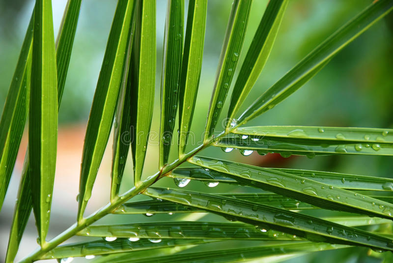 Download Palm with water drops stock photo. Image of fresh, tropic - 12749804