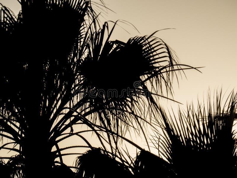 Palma al cielo di tramonto Timelapse della palma al tramonto Siluetta delle foglie di palma contro il cielo dorato fotografia stock libera da diritti