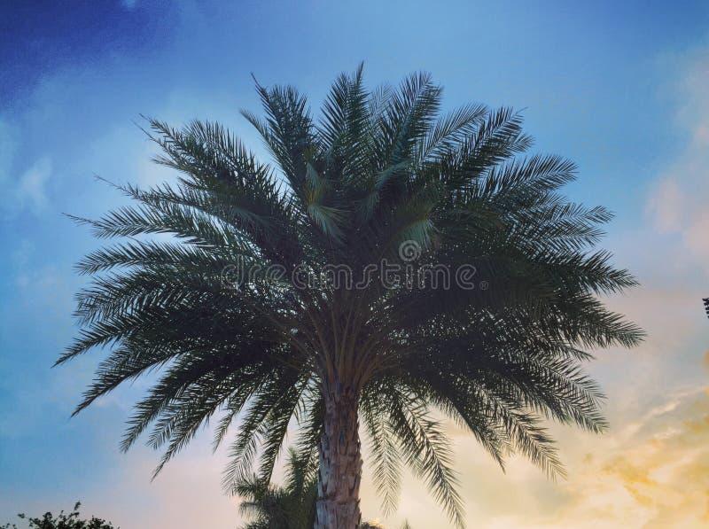 Palma al tramonto fotografie stock libere da diritti
