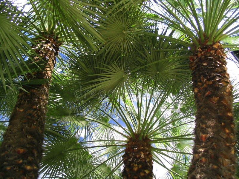 Palma-alberi immagine stock