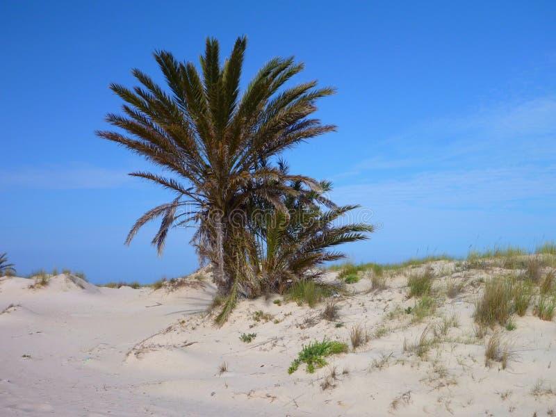 Palma alla spiaggia sabbiosa fotografia stock libera da diritti