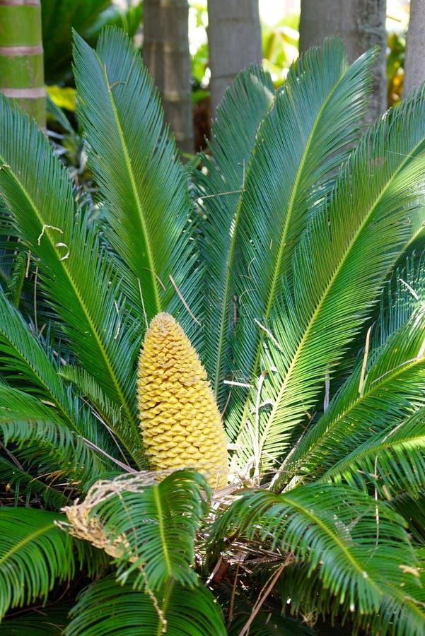 Palma amarilla del cono de la fruta foto de archivo libre de regalías