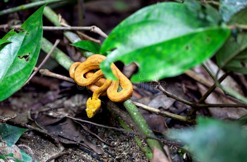 Palma amarilla Pit Viper/Costa Rica de la pestaña fotos de archivo