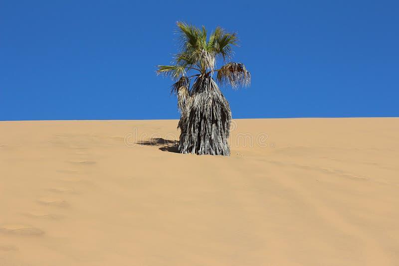 Palma asciutta nella duna fotografie stock