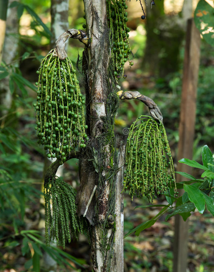 Palma a coda di pesce, Wart Fishtail Palm in foresta immagine stock libera da diritti