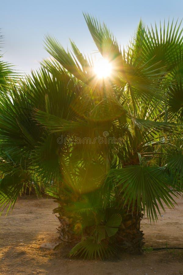 Palma contro cielo blu al giardino tropicale Sun sopra le foglie di palma verdi immagine stock