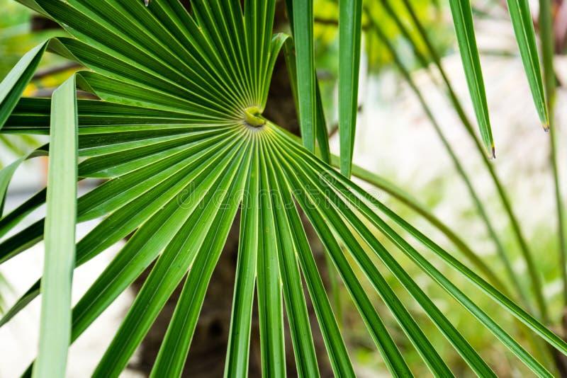 Palma da erva daninha da planta do moinho de vento do fortunei de Trachycarpus da porcelana imagens de stock royalty free