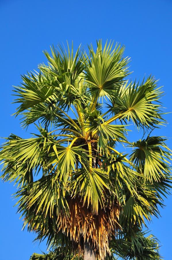 Palma da zucchero o palma del Cambodian fotografia stock