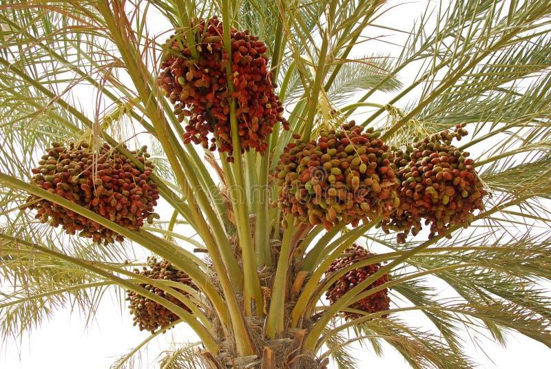 palma daktylowa obrazy royalty free