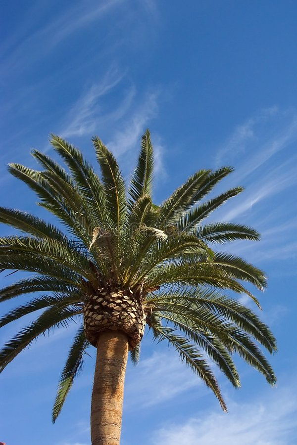 palma daktylowa kanarek wyspy obraz stock