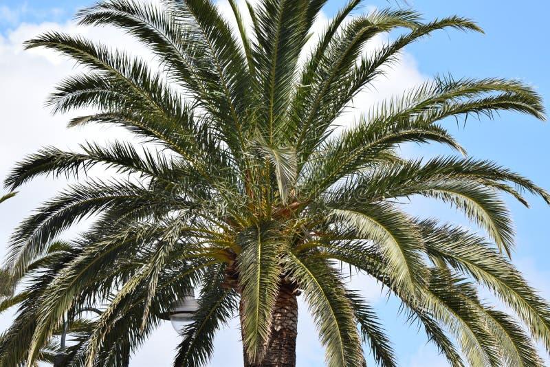 Palma datilera en el mar del ‹Noli Ligure del †del ‹del †imagen de archivo