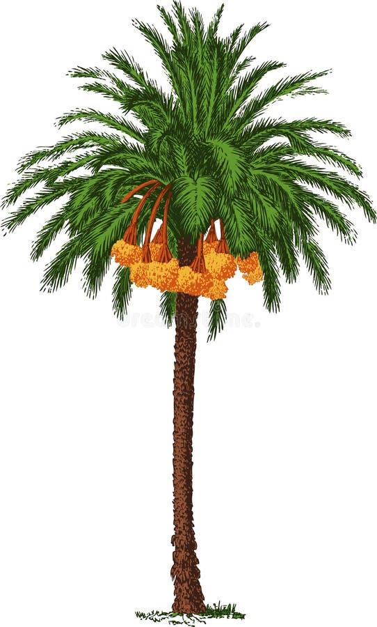 Palma datilera tropical stock de ilustración