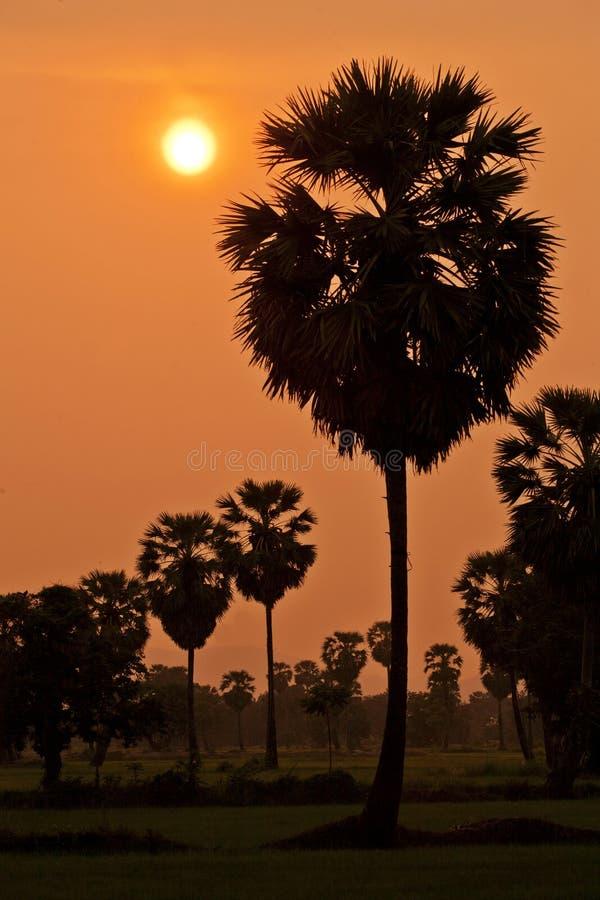 Palma de açúcar durante o por do sol imagem de stock royalty free