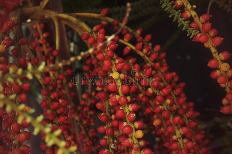 Palma de bétel vermelha imagem de stock royalty free