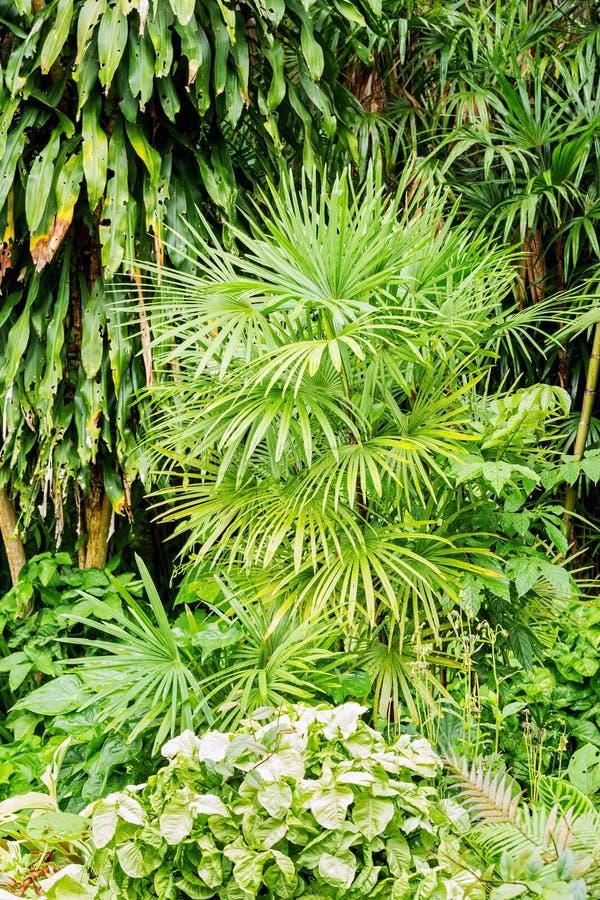 Palma De Bambú O Palmera De La Señora En Jardín Foto de archivo ...