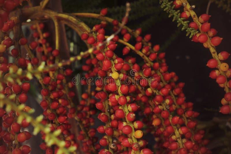 Palma de betel roja imagen de archivo libre de regalías