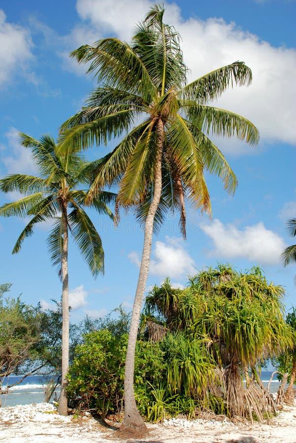 Palma de coco