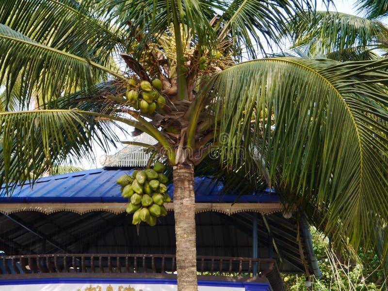 Palma de coco imagen de archivo